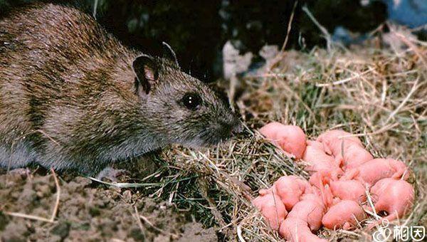 高糖饮食的老鼠生下的雄崽子多