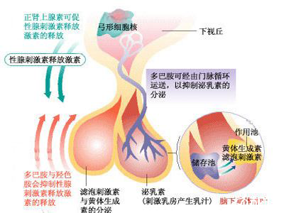 促性腺激素释放激素