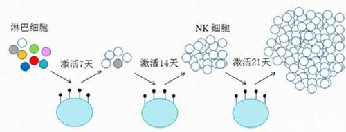 nk细胞扩增培养图