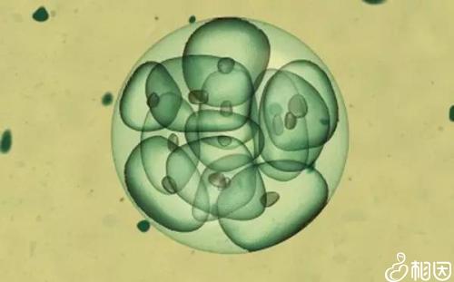 鲜胚移植后几天能测出怀孕