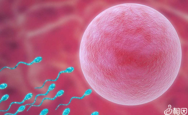 高质量卵子可以获得高质量胚胎囊胚