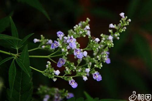天然植物果实圣洁莓