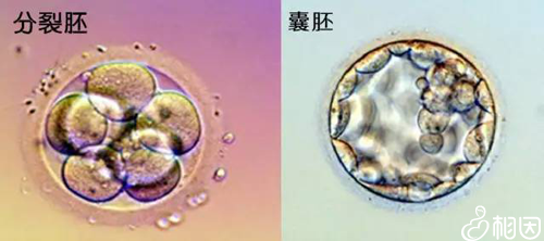 鲜胚和囊胚有什么区别