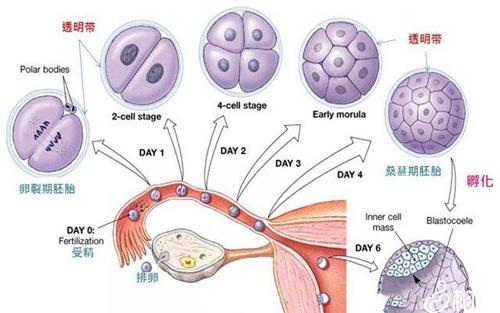 囊胚移植后着床征兆