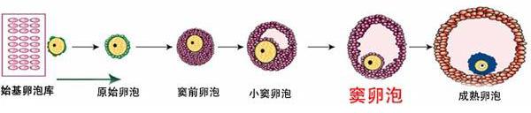 卵泡的生长过程