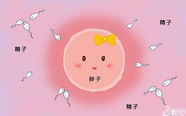 卵泡发育阶段