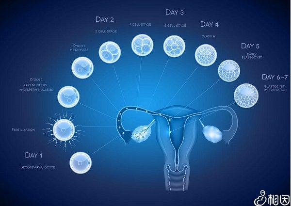 胚胎移植发育图