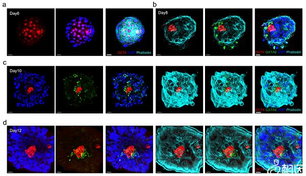 胚胎着床发育图