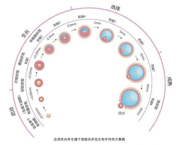 卵泡发育过程图