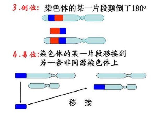 染色体易位原理图