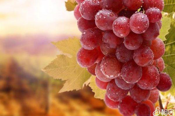 血糖高要少吃葡萄