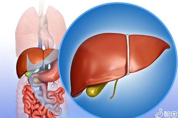 肝功能检查主要是看转氨酶指标