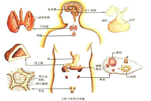 人体内分泌腺