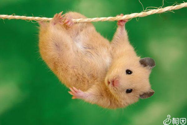 出血热疾病是由老鼠引起的
