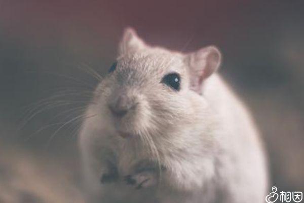 出血热疾病是由老鼠决定的
